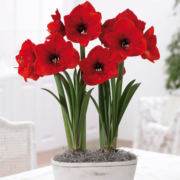 Classification for bench shows and may market shippan for Amaryllis bulbe conservation